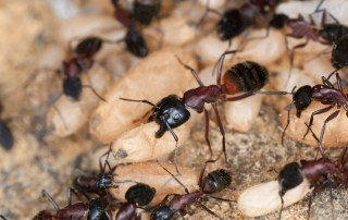 extermination fourmi charpentiere montreal longueuil laval