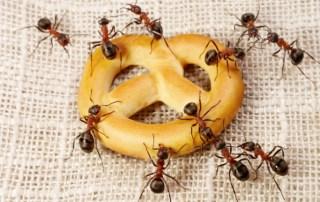 extermination fourmis montreal longueuil laval