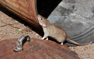 extermination rat montreal longueuil laval