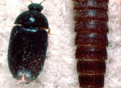 extermination attagene des tapis montreal longueuil laval
