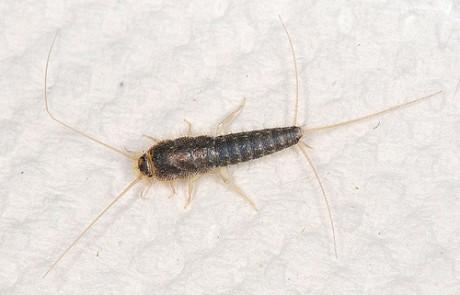 punaise-de-lit-male-male-bed-bug-300x225