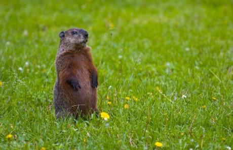capture marmotte montreal longueuil laval