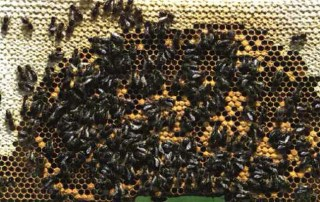 extermination abeille montreal longueuil laval