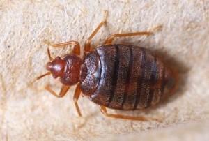 punaise-de-lit-male-male-bed-bug-300x225-300x202