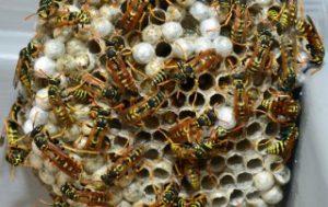extermination-nid-de-guepes-0003-320x202