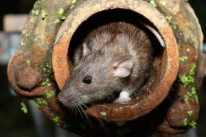 extermination-rat-0006